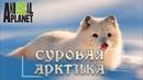 Суровая Арктика - Ледяная пустыня. Мир природы, дикие животные. Документальный фильм. Animal Planet