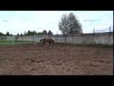 Продажа Ахалтекинских лошадей Sale of Akhal-Teke horses sakhaltekellc