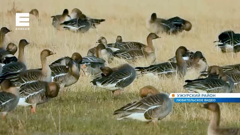 В Красноярском крае на озере Салбат редкие перелетные птицы устроили привал
