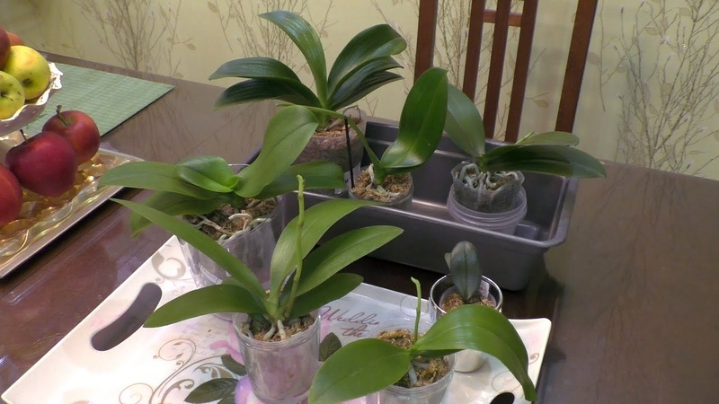 Орхидеи как полить что отрезать и зачистить Лактат хитозана для орхидей