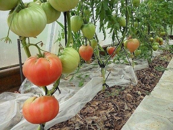 Вегетационная подкормка томатов Полноценное выращивание помидоров в теплице предполагает 3-4 корневые подкормки во время вегетации самих растений.Первая проводится через 20 дней после высадки
