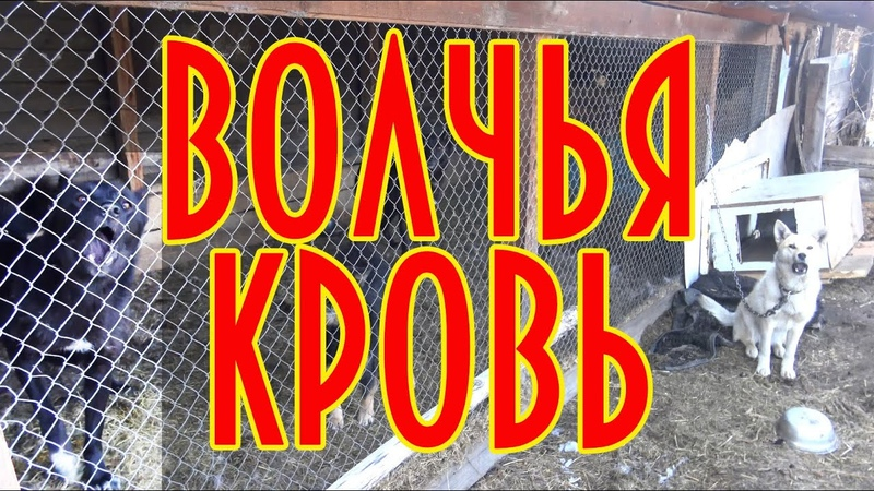 Волчья кровь сюжет об охотничьих собаках волк западно сибирская лайка домавместе