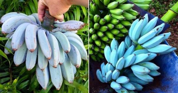 Я мечтаю попробовать такие бананы. Как вам И это не фотошоп. название...