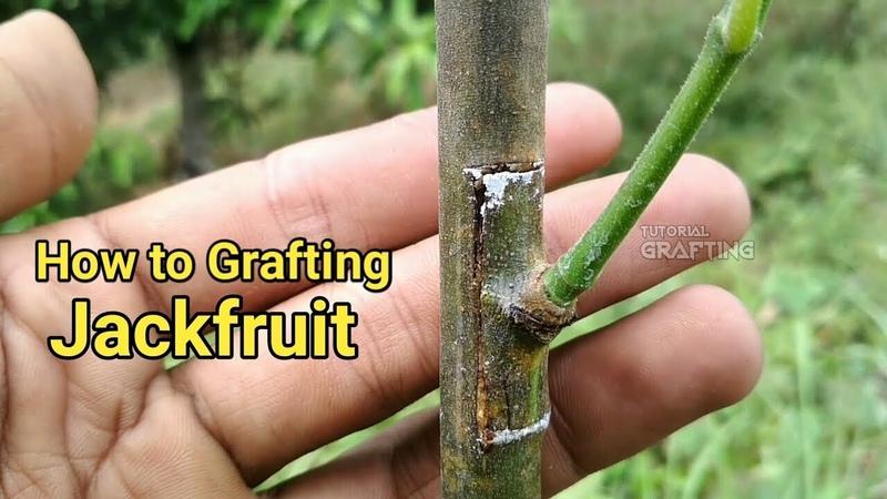 Okulasi Nangka Tempel Kulit Nangka Grafting Nangka Grafting Jackfruit Tree