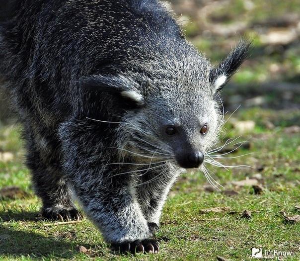 Бинтуронг - идеально милый разрушитель. Когда исследователи впервые увидели бинтуронга, они встали в тупик. Это кошка, сказал один. Вон как по деревьям лазает. Сам ты кошка, ответил другой.