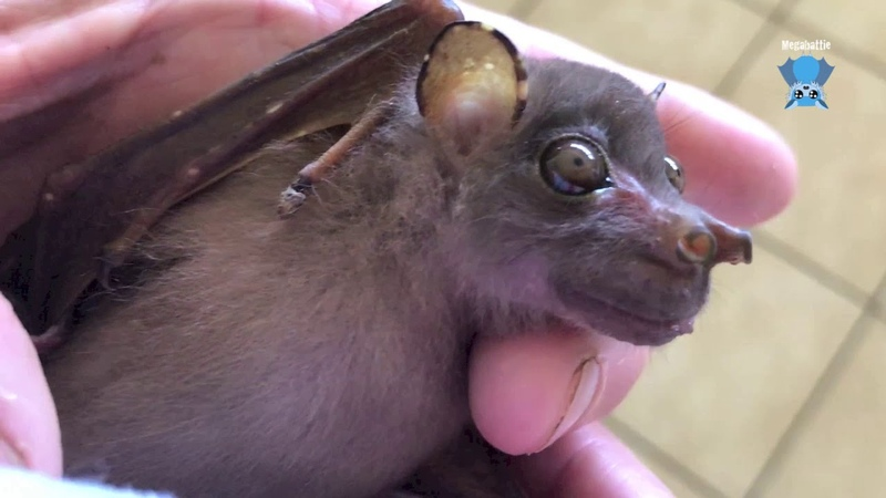 Baby Eastern Tube Nosed Bat this is Wiggles