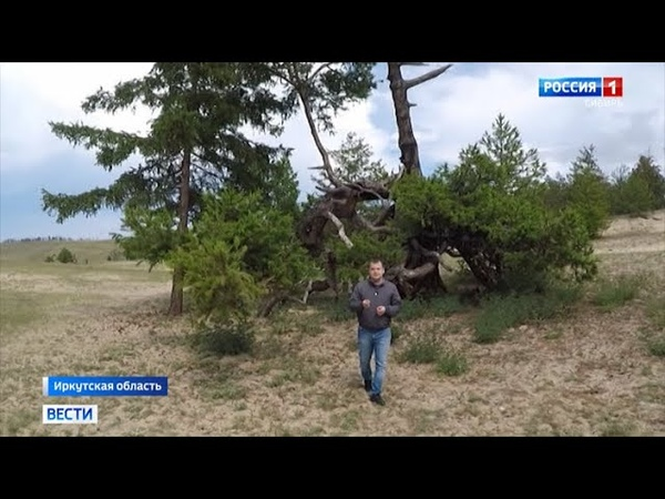 Старейшее дерево России Страж Ольхона отметило 777 й юбилей в Иркутске