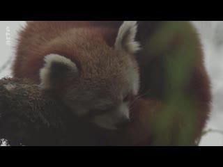 Le petit panda de l'Himalaya_Arte_2020_07_09_12_16