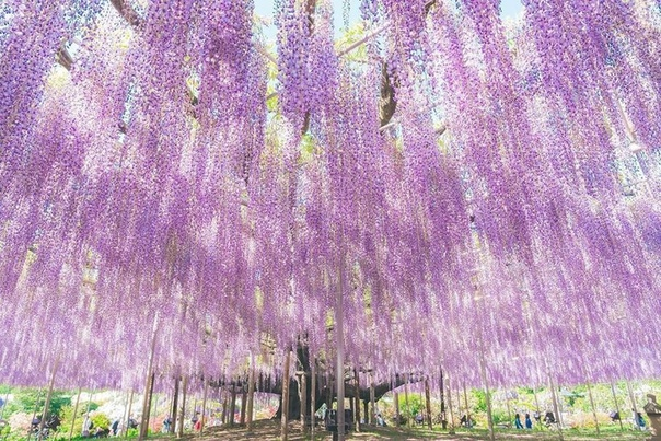 Отправляйтесь в цветочный парк Асикага в Японии и вы найдете дерево глицинии, которое часто называют «самым красивым в мире» Вид этого 150-летнего гиганта ошеломляет, когда он находится на пике