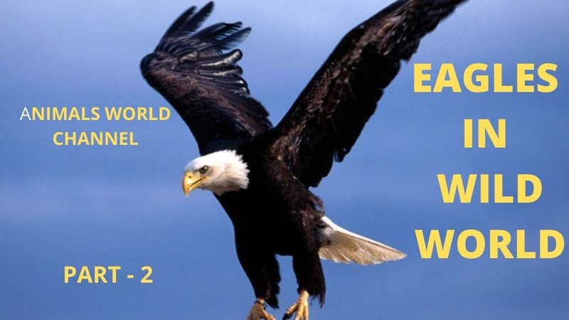 BBC Life and hunting of large birds hawks, eagles – Wildlife, Part 2 - YouTube
