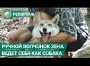 Спасенного из пожара волчонка приютили в лесничестве. ФАН-ТВ