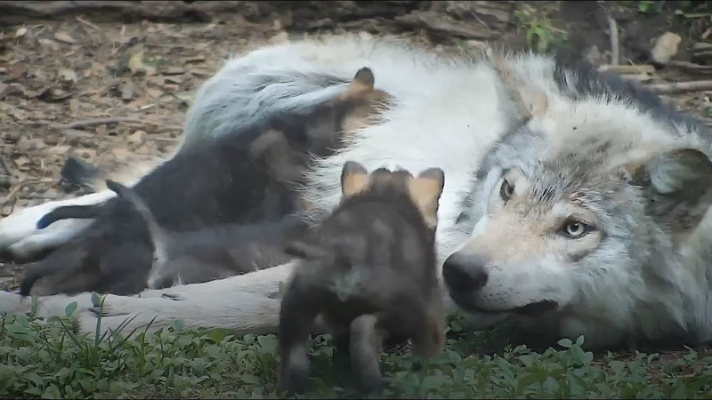 Loving Wolf Patiently Cares for Her 4-Week-Old Wolf Pup Siblings