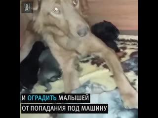Мама-собака защищает своих новорожденных щенят