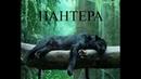 Черная пантера - леопард
