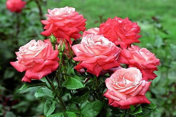 Розы: надо ли обрезать их на зиму и как это сделать