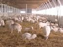 В Марий Эл открылась самая большая козья ферма в Европе