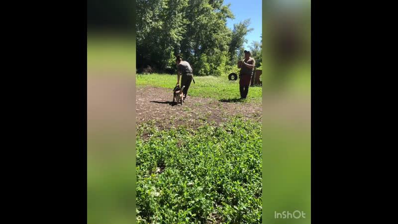 Тренировка с Авророй бигль 18 06 2020