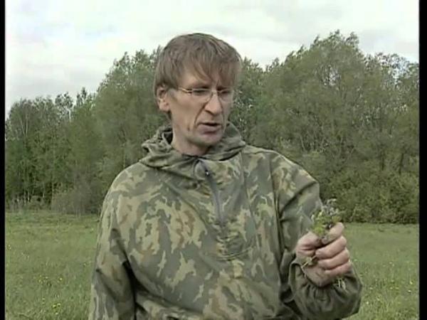 Лекарственные травы.Вероника дубравная