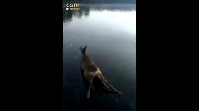 Два олененка пытались от мужчины убежать по льду