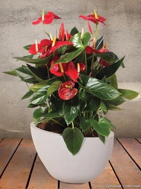 Как омолодить антуриум Комнатное растение антуриум очень популярно. Его необычные глянцевые цветки привлекают внимание, цветение длится долго, растение может цвести и зимой при достаточном