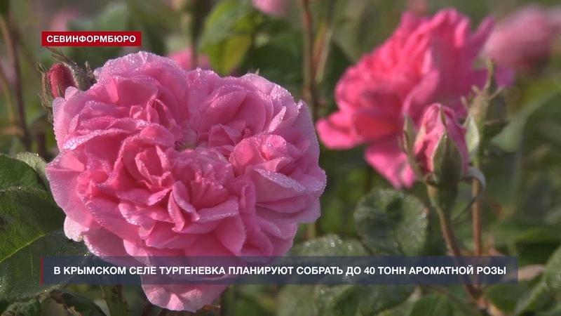 В крымском селе Тургеневка планируют собрать до 40 тонн ароматной розы