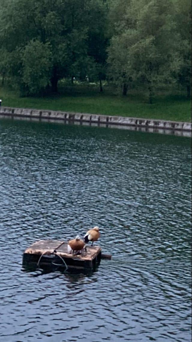 Нашествие огарей в парке Дружбы.
