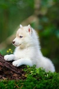 Cub Wolf