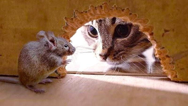 「おもしろ猫とネズミ」死んだふりにして猫を騙したネズミが超賢い 12804