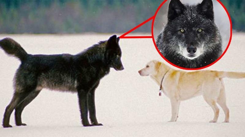 Мужчина увидел как черный волк приближается к его собаке. То, что произошло потом поразило его!