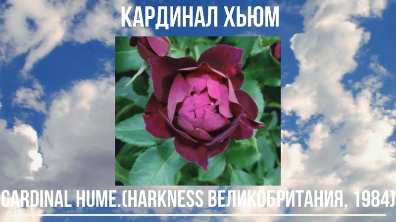 Как распускается роза Кардинал Хьюм Парковая Cardinal Hume Harkness 1984