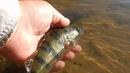 Честный обзор спиннинга Crazy Fish Arion до 4 грамм. Жесткий тест на быстрой воде и бойкой рыбе