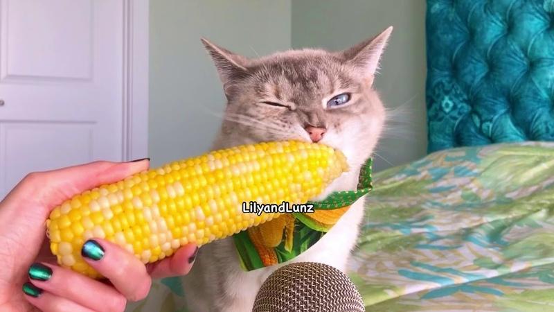 ASMR CAT EATS CORN