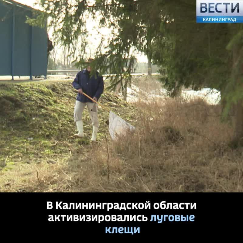 В Калининградской области активизировались луговые клещи.