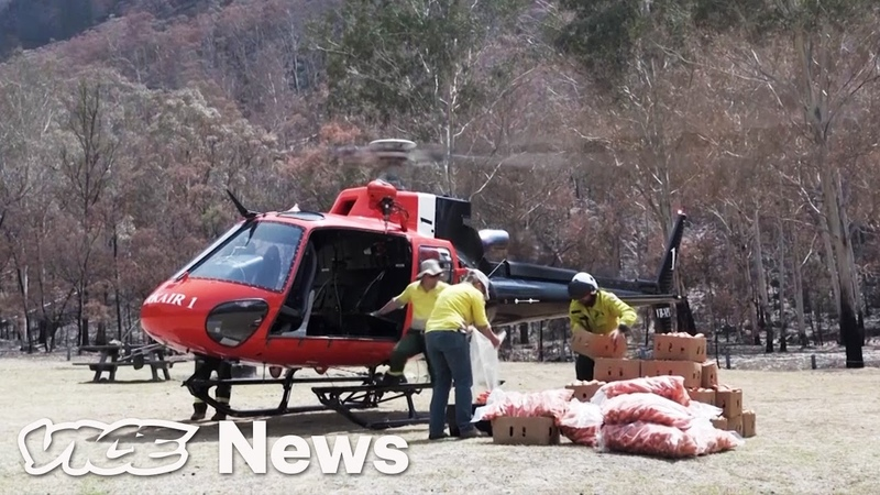 Australia Is Dropping Veggies From Helicopters For Starving Wallabies