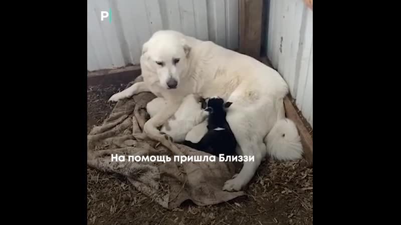 Собака удочерила козлёнка