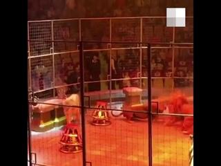 В Екатеринбургском цирке сцепились три льва. Их поливали из брандспойта  